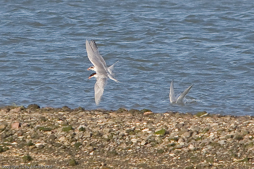 Forster's Terns by you.