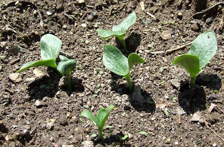 As abóboras germinaram