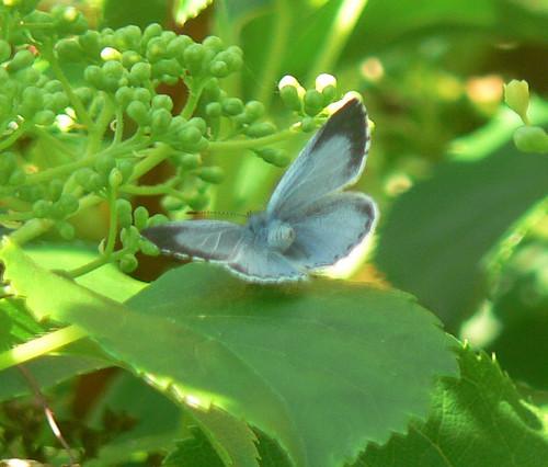 Holly Blue (Celastrina argiolus), f.