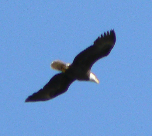 Merchant's Millpond Canoeing - Bald Eagle (Cropped)