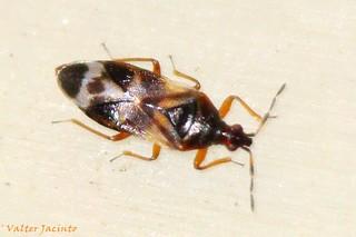 Percevejo // Minute Pirate Bug (Anthocoris con...