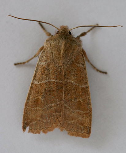 9936 - Eupsilia morrisoni - Morrison's Sallow