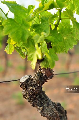 Pied de vigne by YannGarPhoto.wordpress.com