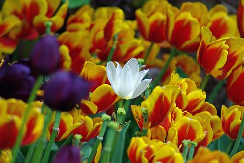 white tulip, istanbul tulip festival, istanbul lale festivali, istanbul, pentax k10d