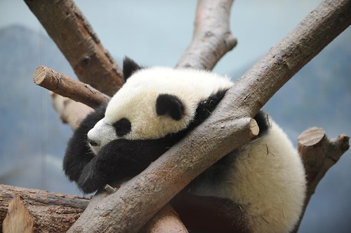 baby panda at the Atlanta zoo