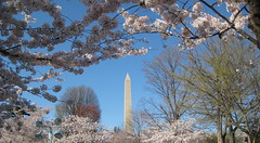Cherry Blossoms & Washington Monument