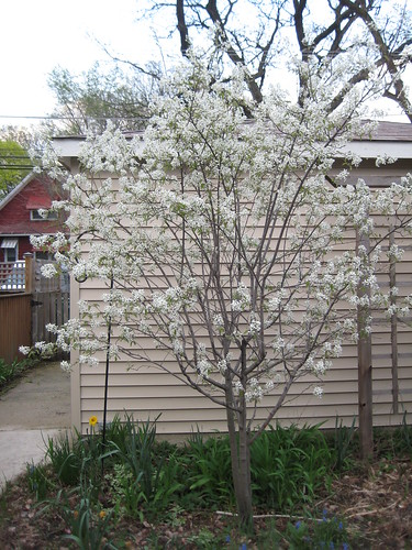 Serviceberry in bloom