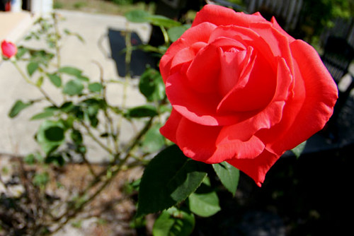 texas_rose