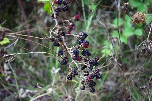 blackberries, böğürtlenler, pentax k10d ,düzce city