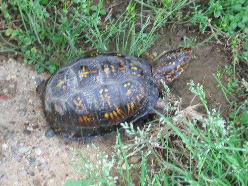 Easter Box Turtle