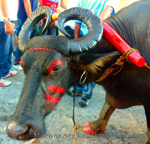 Philippines' National Animal - Tamaraw