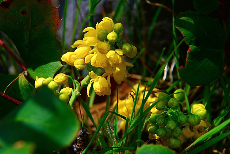 Oregon Grape, Hollyleaved Barberry