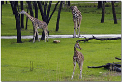 Giraffes at Kidani Village
