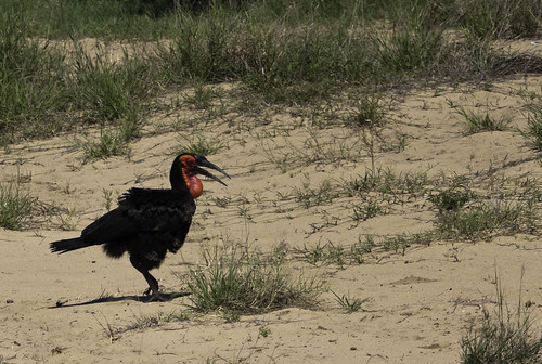 Southern Groundhornbill