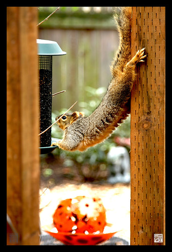 Spring scene in my garden today..nutty squirrel wants those sunflower seeds