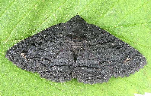 8695 - Zale undularis - Black Zale