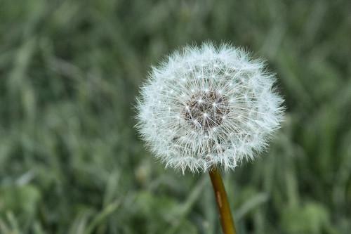 129/365 | dandelion