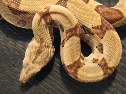 Hypo poss Jungle Boa Constrictor (head)