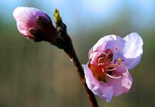 Peach Blossom Pink
