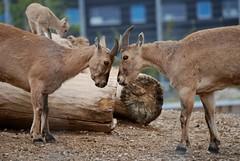Westkaukasische Steinböcke im Zoo Tallinn