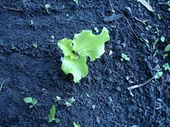 Rogue lettuce