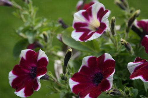 Two tone purple/white Petunias