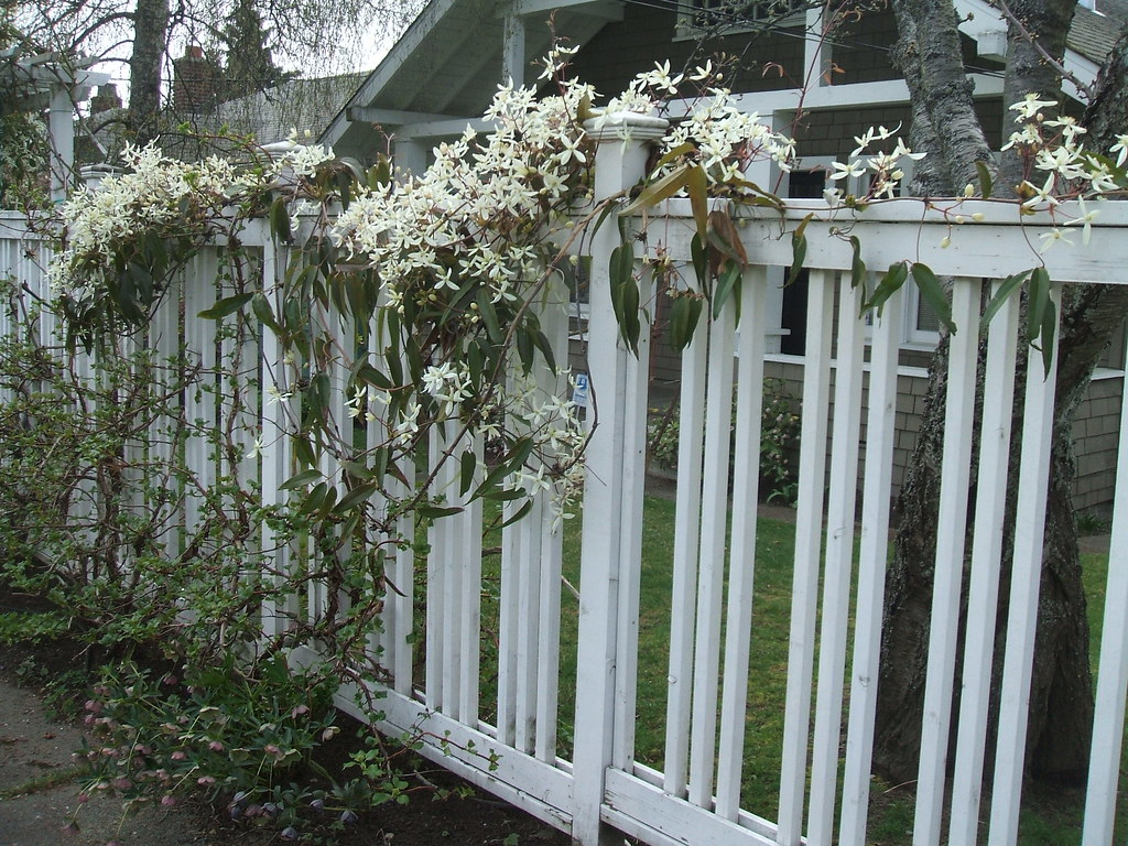 Neighbor's Clematis armandii on white fence