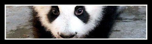 Bai Xue First Baby. 2009 Photo courtesy Pandas International