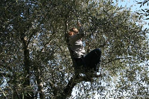 Gauling olives