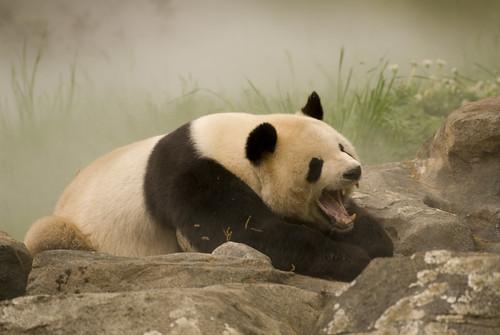 When Pandas Attack