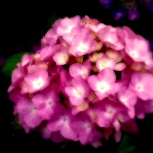 幻想。  #アジ祭 #紫陽花 #flower