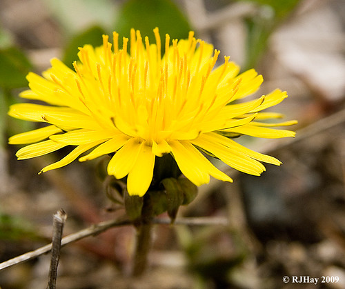 Dandelion along the Bruce Trail