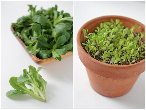 Mache and lettuce seedlings
