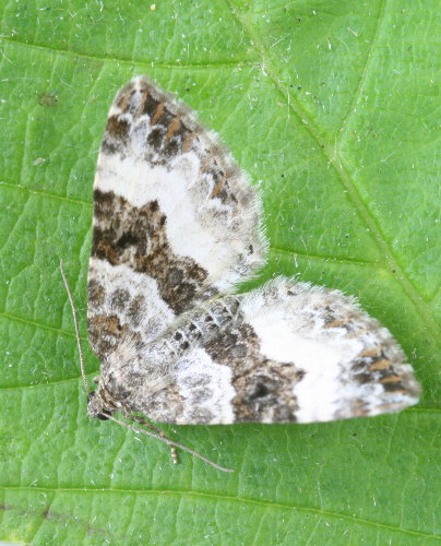 7394 - Epirrhoe alternata - White-banded Toothed Carpet