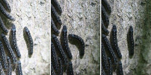 Forest Tent Caterpillars - fly avoidance