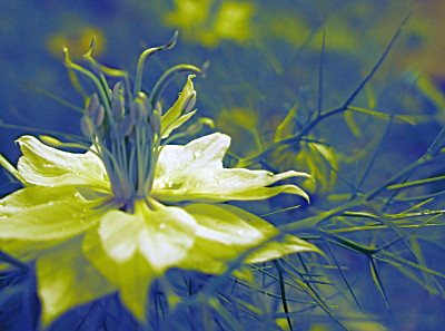 although this photo has been treated, it does show the inner workings of the nigella flower very well.. an almost statuesque beauty.