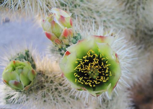 Cholla Cactus Garden by you.