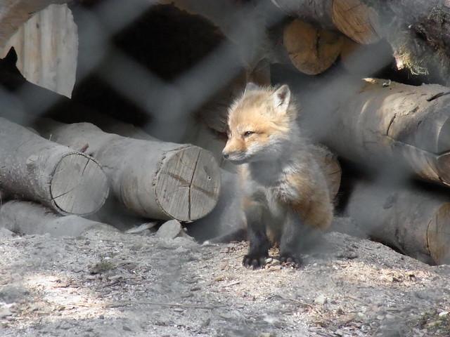 Mr. Fox Jr.
