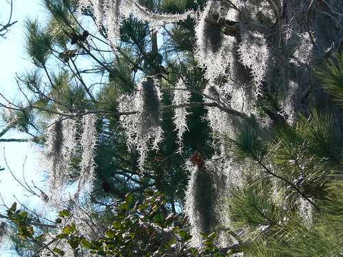 Camden County Jeep Trail - Spanish Moss and Evergreens