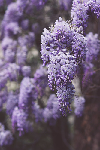 wisteria (by CharlaneG)