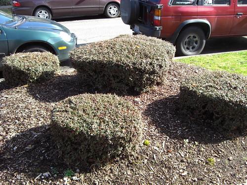Sheared shrub gumdrops