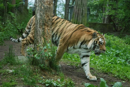 Sibirischer Tiger im Zoo Helsinki