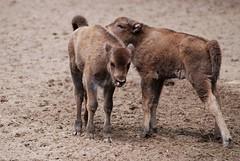 Wisente im Zoo Gdansk