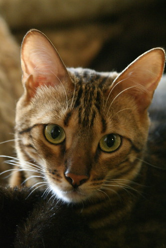 Poetry for Cats - Poets Supporting the Great Lakes Bengal Rescue (1/6)