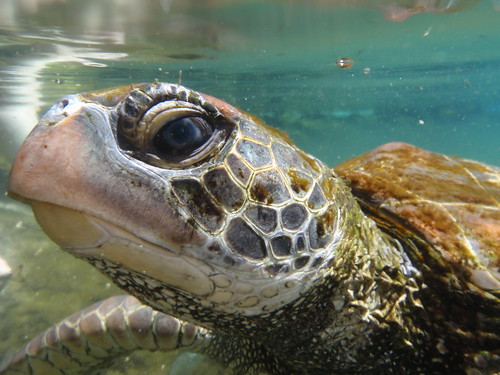 Turtle, Savaii, Samoa.