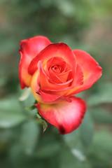 Rose, Alinka