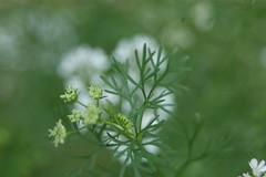 Cilantro Blooming
