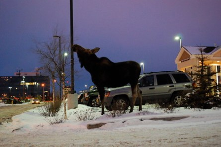 Moose in Hotel Parking Lot, Anchorage, AK