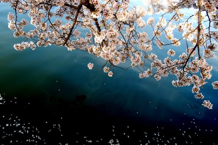 blossoms over the water