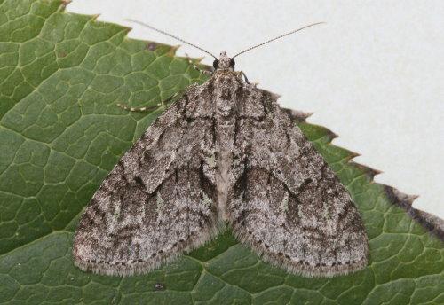 7637 - Cladara limitaria - Mottled Gray Carpet (4)